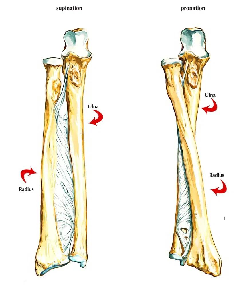 Fungsi tulang pengumpil