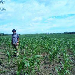 Mirwan Pulungan, Mantan Kabiro Humas yang Pilih jadi Petani Jagung di Pasaman
