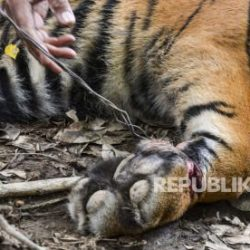 Warga: Tiga Ekor Harimau Berkeliaran di Agam